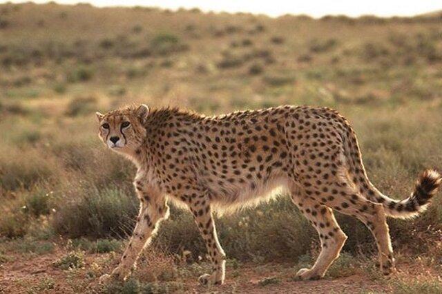 کاهش سرعت مجاز در مهمترین زیستگاه یوزپلنگ دنیا