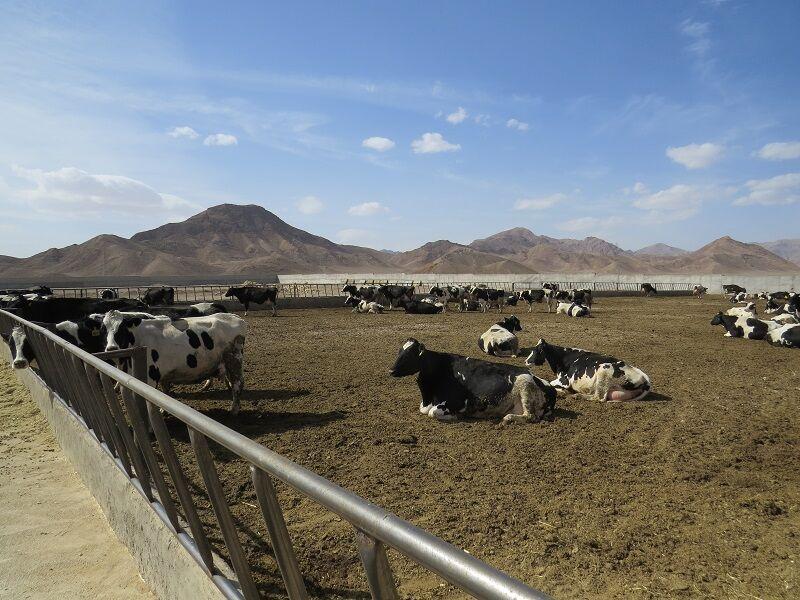 خبرنگاران فراوری روزانه شیر در ابرکوه تا سرانجام سال جاری به 105 تن می رسد