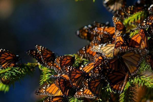 مهاجرت پروانه های شهریار، شگفت انگیزترین سفر جهان