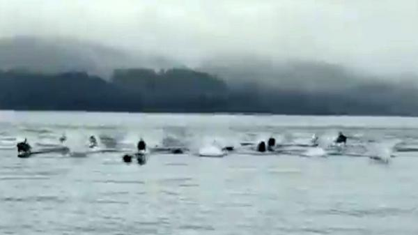 فرار دلفین ها از حمله نهنگ ها
